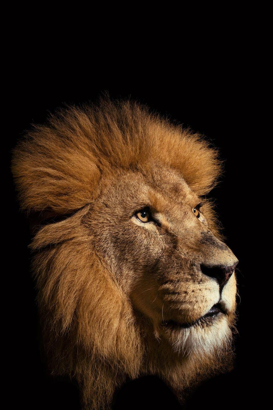 El león africano, es el único gran felino que vive en grupos familiares grandes. Hace 200 ...