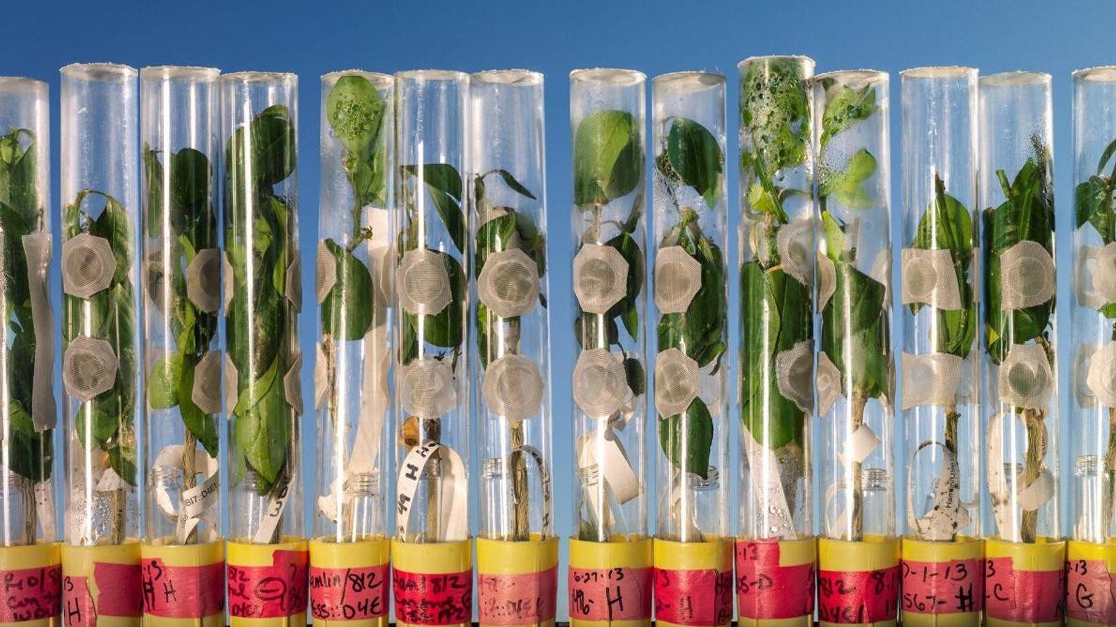 Naranjos modificados genéticamente