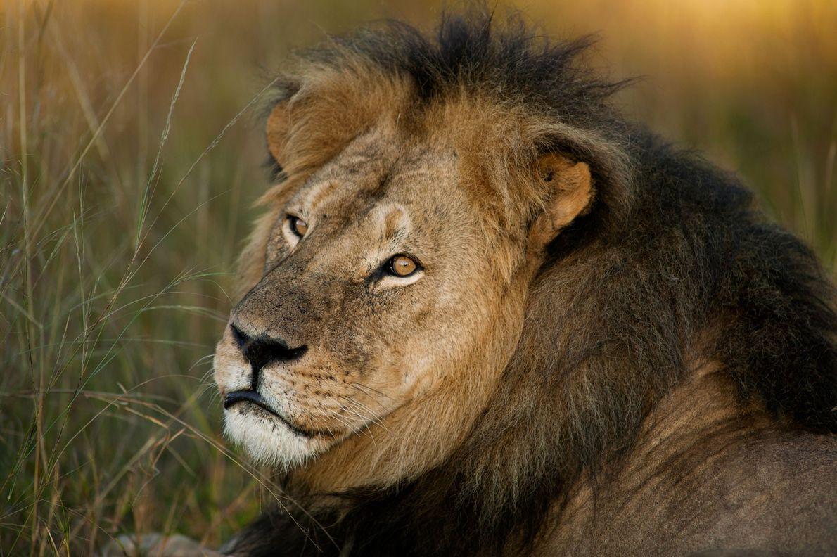 El león Cecil