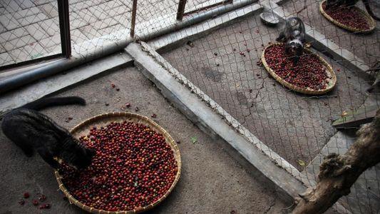El perturbador secreto tras el café más caro del mundo