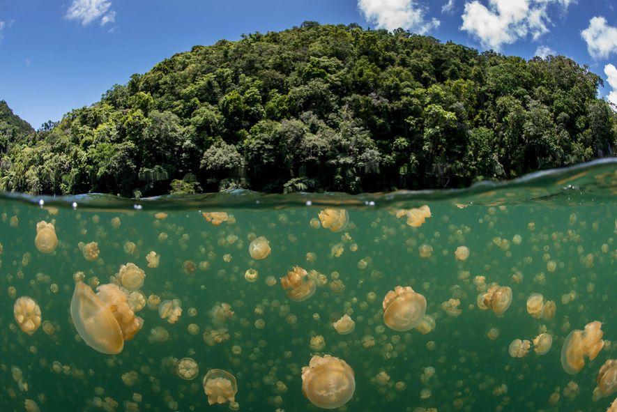 El equipo de la misión Pristine Seas estudió un lago que alberga millones de medusas, la ...