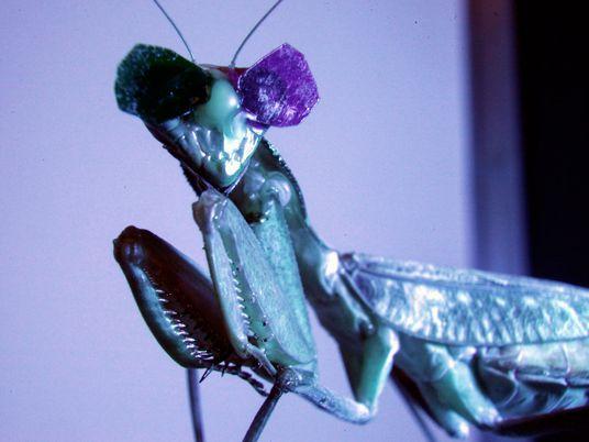 ¿Por qué llevan gafas 3D estas mantis religiosas?