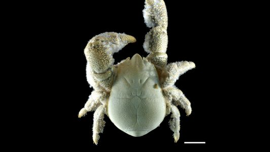 Nuevas especies: el cangrejo Yeti peludo de la Antártida