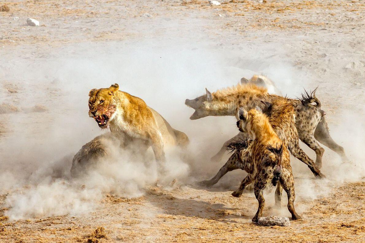 Leones contra hienas