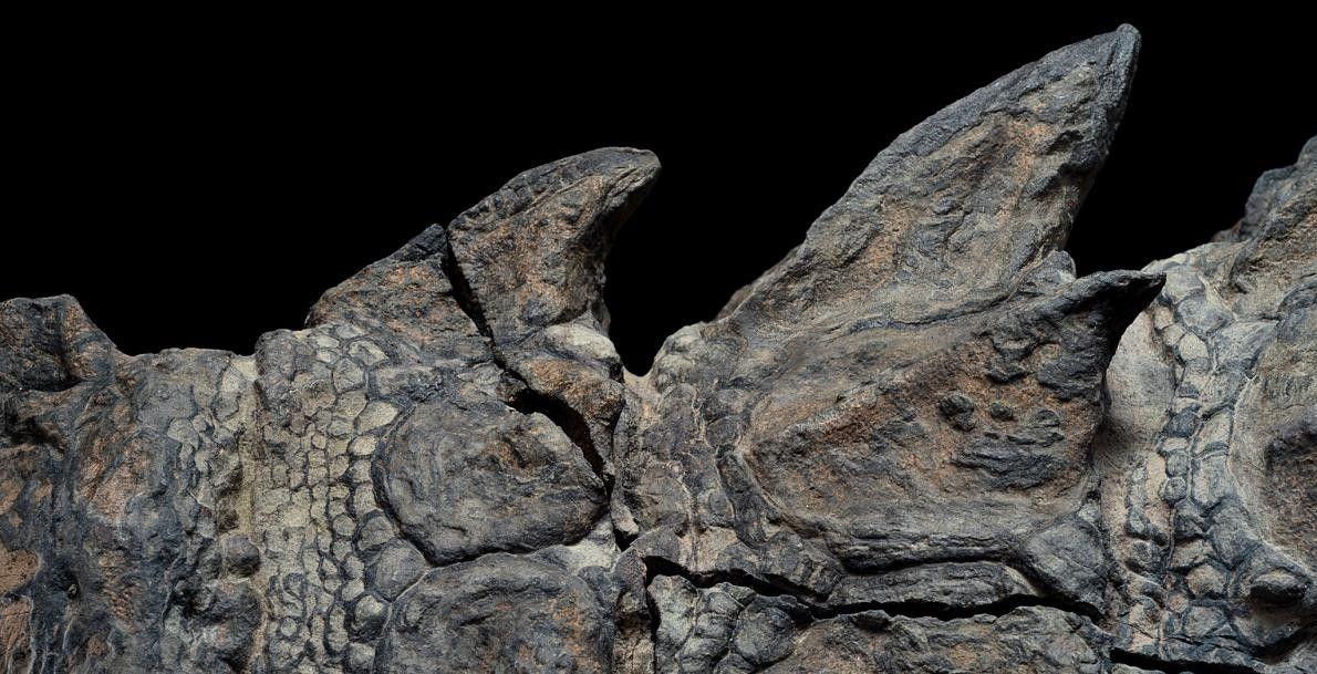 Las placas características de los dinosaurios con armadura normalmente se desprendían cuando comenzaban a descomponerse, un …