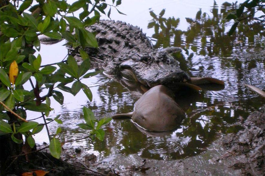 Un aligátor americano adulto captura a un tiburón nodriza en el refugio nacional de vida silvestre ...