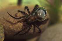 Una araña de agua