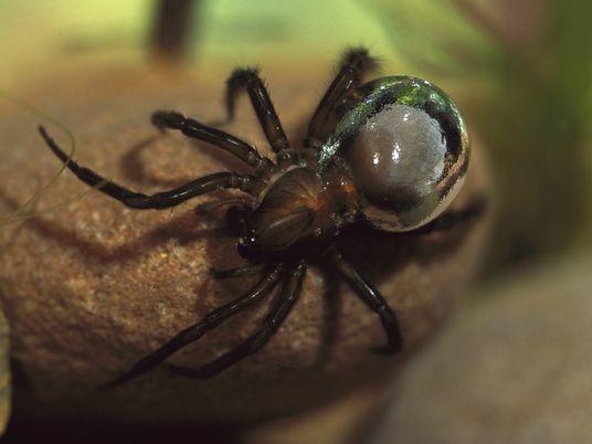 Estas arañas utilizan burbujas para vivir bajo el agua