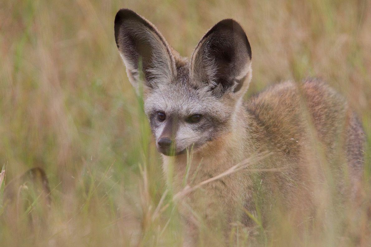 Un zorro orejudo