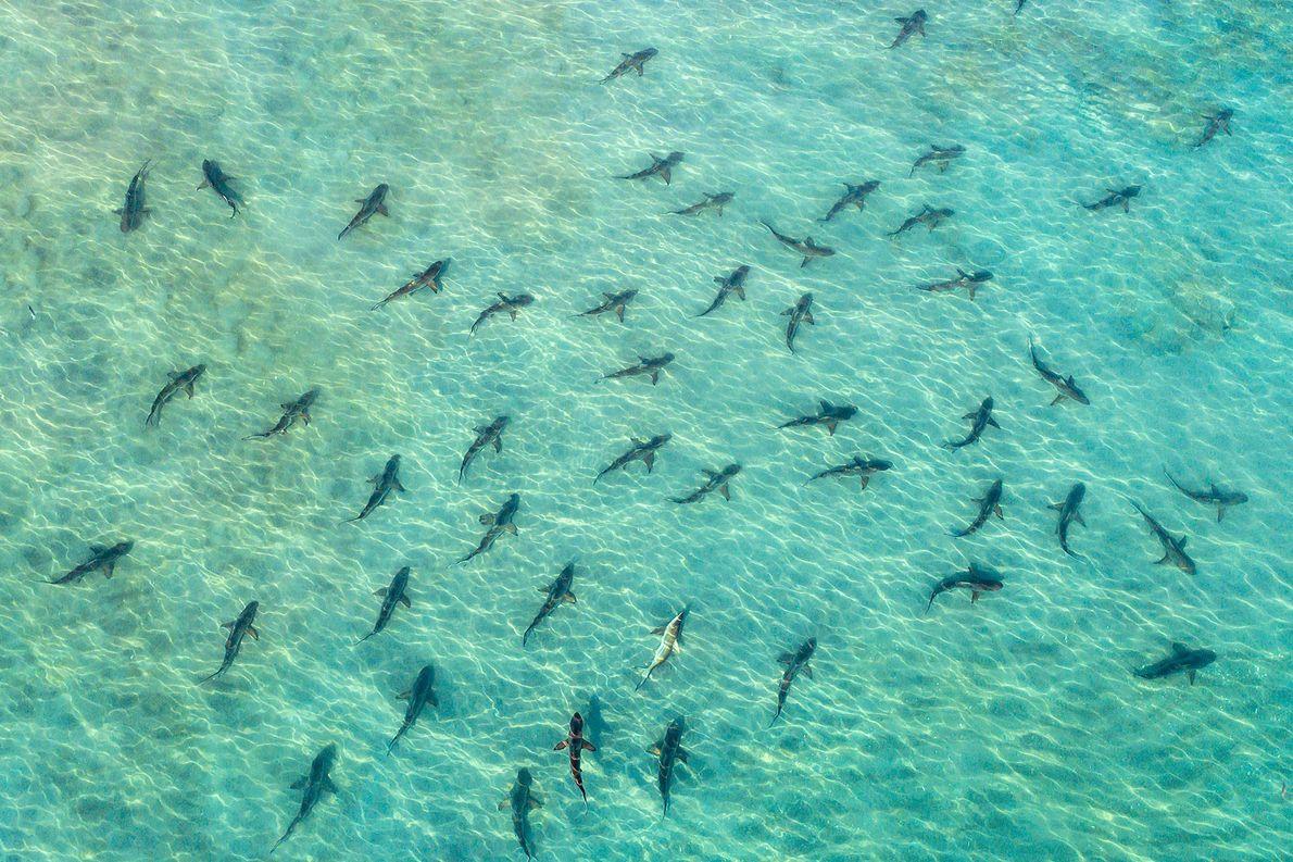 Tiburones de punta negra. Juno Beach, Florida, Estados Unidos