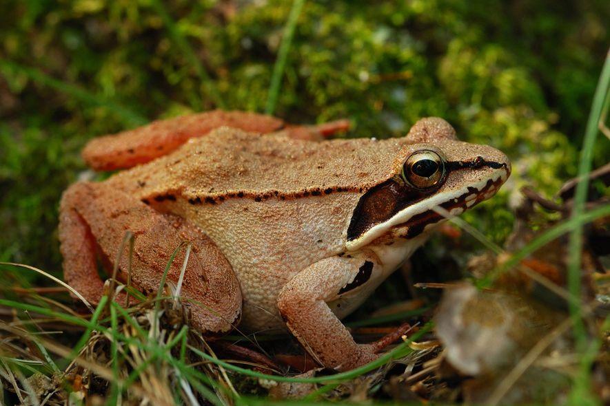 Las ranas de la madera son la única especie de rana que vive en el círculo polar ártico.