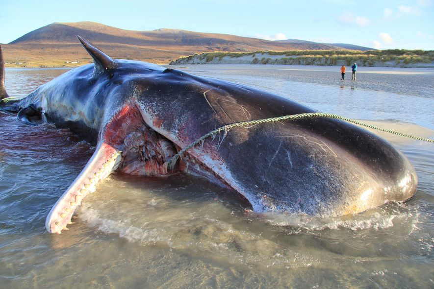 En noviembre de 2019, encontraron un cachalote joven muerto en una playa de la isla de ...