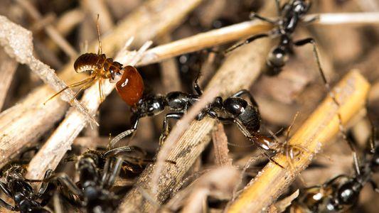 Las hormigas matabele curan a sus compañeras heridas