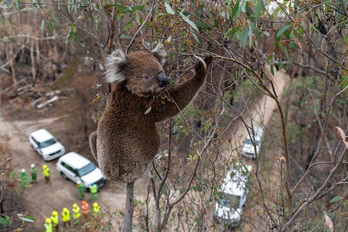 Koala superviviente