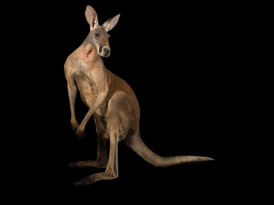 Especies australianas afectadas por los incendios