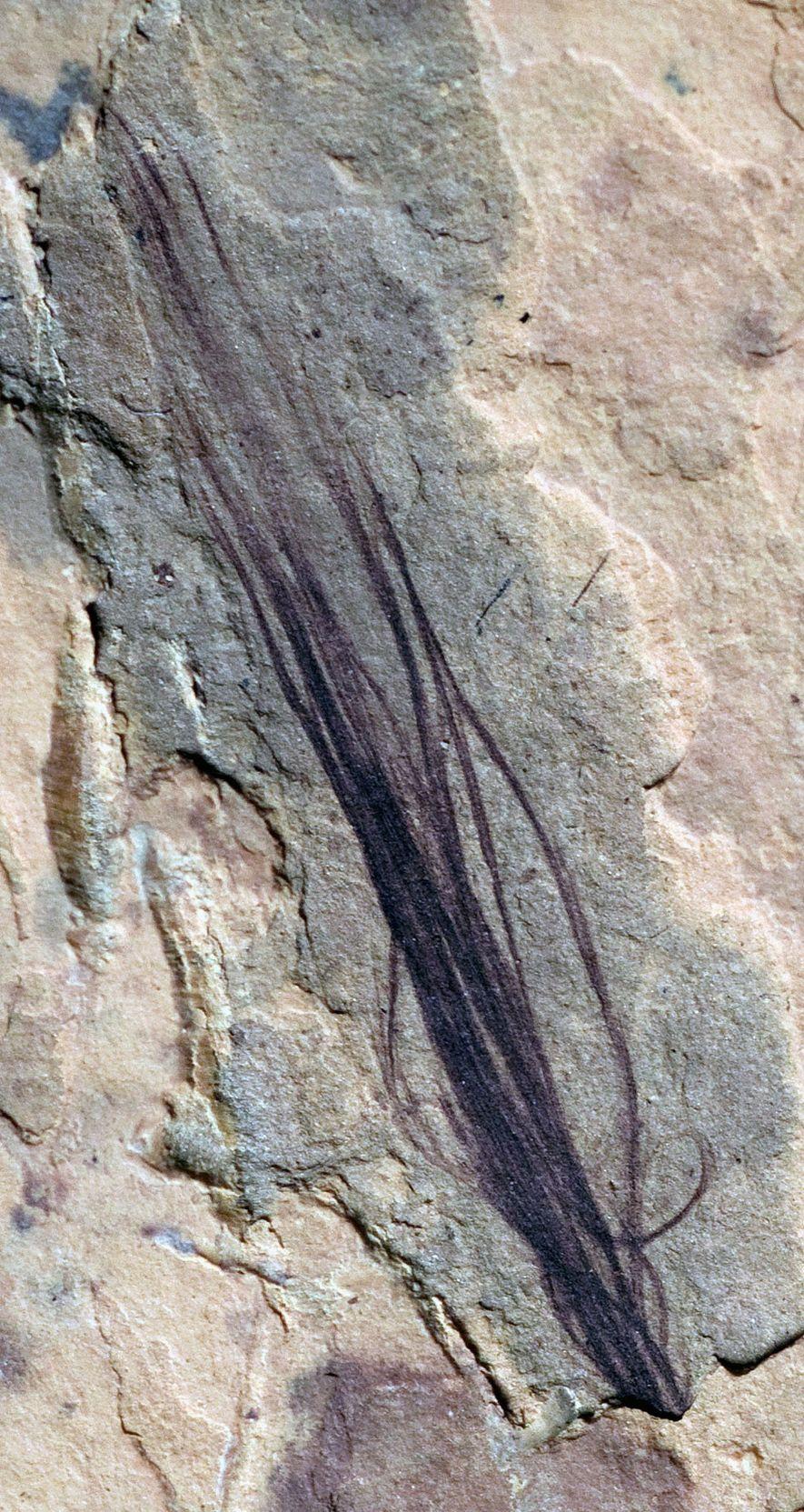 El conjunto de 10 plumas fosilizadas descubierto en el yacimiento de Australia incluye una protopluma de ...