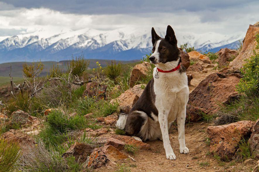 Los perros de osos de Carelia (en la foto, Orca, de Nevada) se criaron originalmente en ...