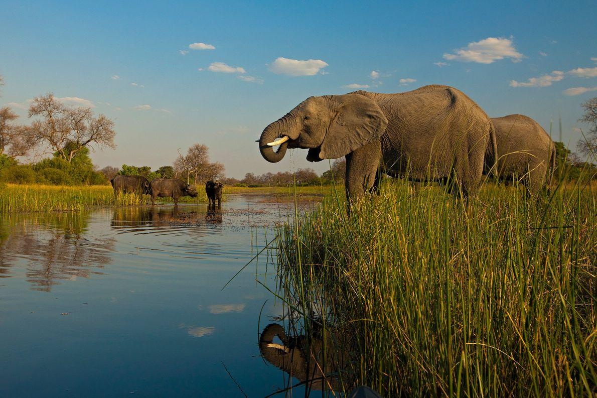 Elefantes africanos y un búfalo cafre beben en la reserva de Zarafa, en Botsuana.
