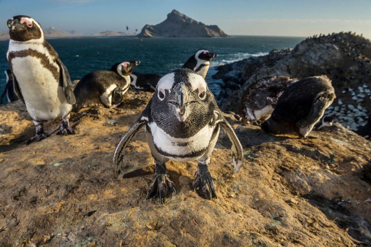 Pingüinos del Cabo
