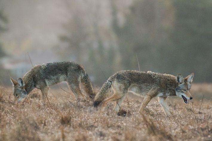Dos coyotes de ojos azules