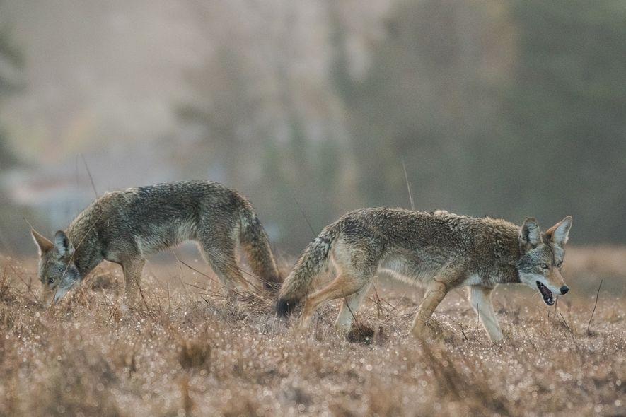 Dos coyotes de ojos azules, supuestamente hermanos, buscan comida en un campo antes del amanecer en Santa Cruz, California. El tercer coyote que los acompañaba, que no aparece en la imagen, tenía ojos de color castaño oscuro.