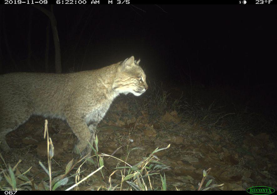 Un lince rojo (Lynx rufus) vaga por el parque nacional histórico del Canal C&O en Washington ...