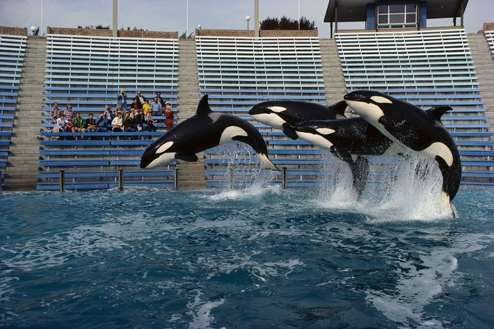 Tres orcas saltando