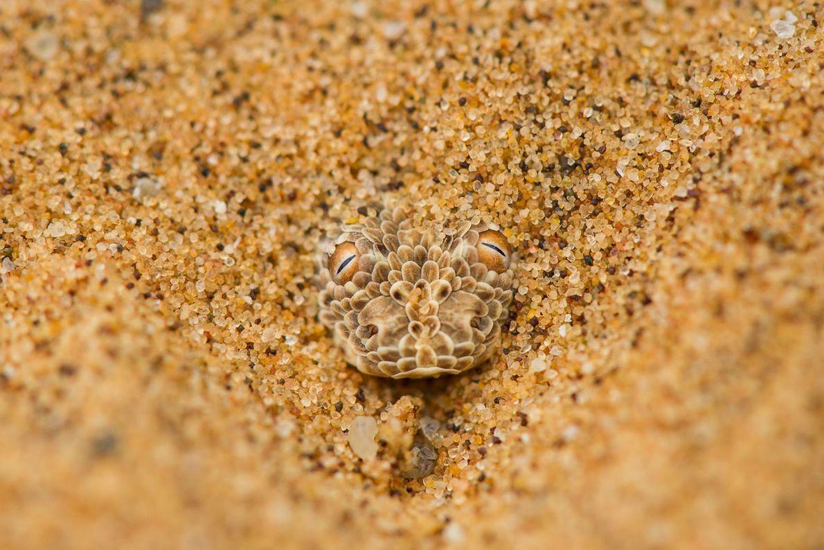 Namib Desert Viper. Namib Desert, Namibia