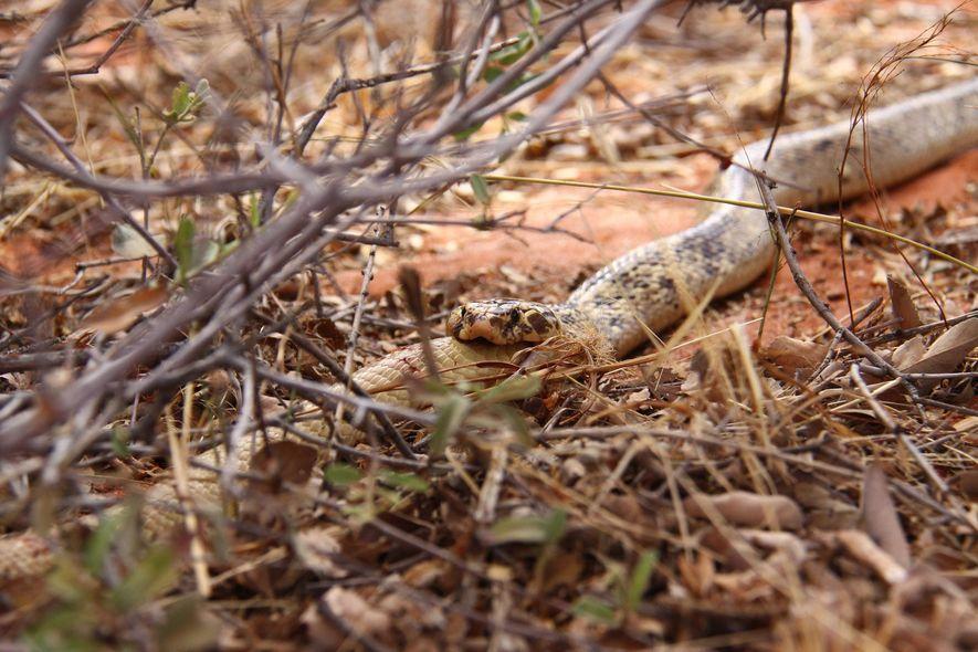Una cobra del Cabo macho consume a un macho más pequeño de la misma especie en ...