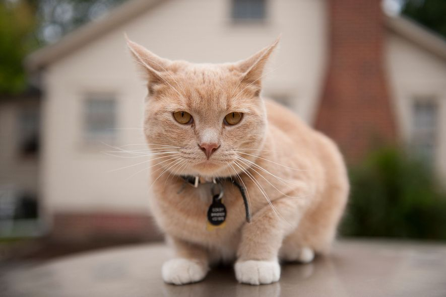 Los gatos (en la imagen, un felino sobre un coche en Lincoln, Nebraska) no siempre son ...