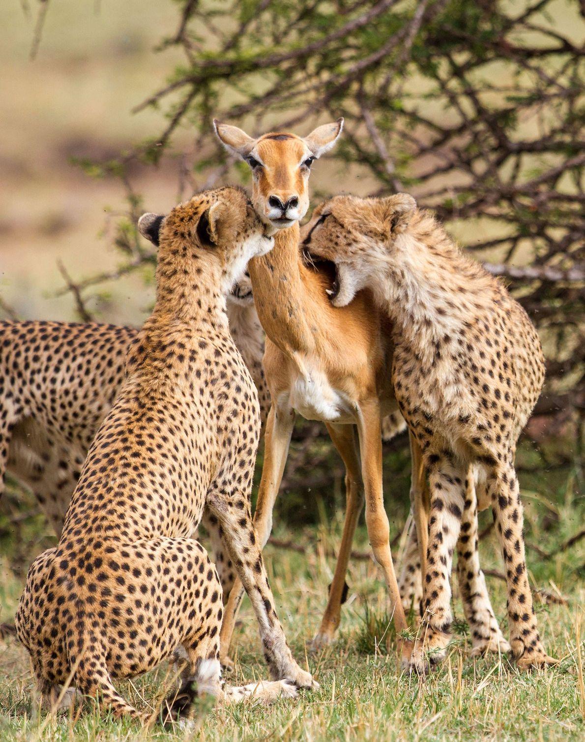 Dos cachorros muerden a un impala en la reserva nacional de Masái Mara, Kenia.