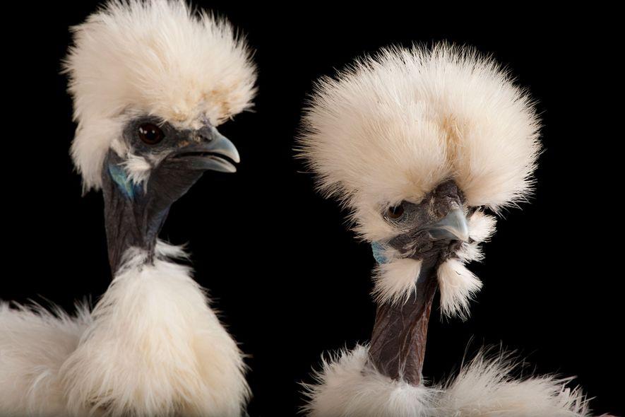 Estos pollos, pertenecientes a la raza Silkie o Sedosa, también son negros por dentro y por …
