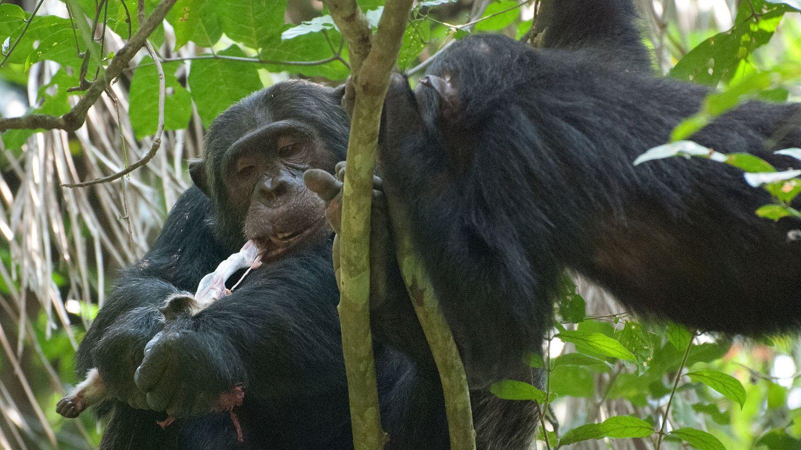 Un chimpancé macho