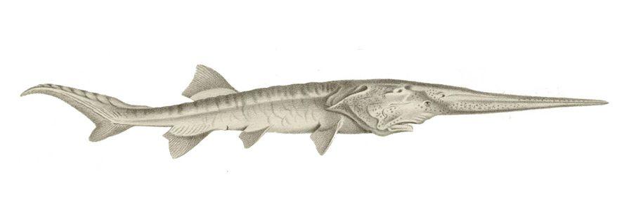 El pez espátula del Yangtsé (Psephurus gladius) poseía un rostrum largo similar a una espada, una ...