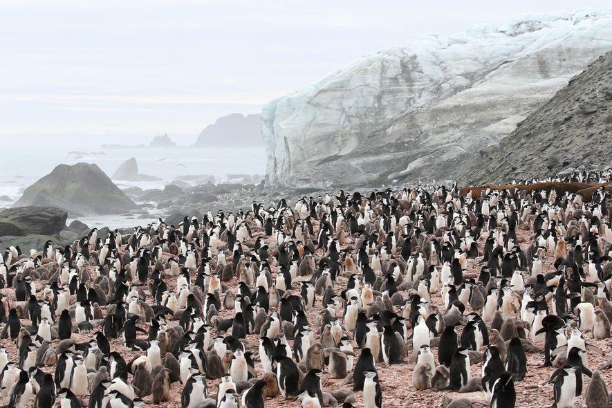Colonia de pingüinos barbijos
