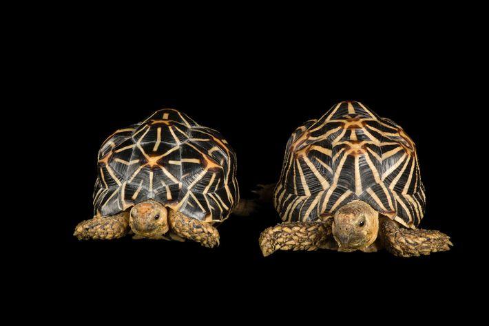 Tortugas estrelladas de la India
