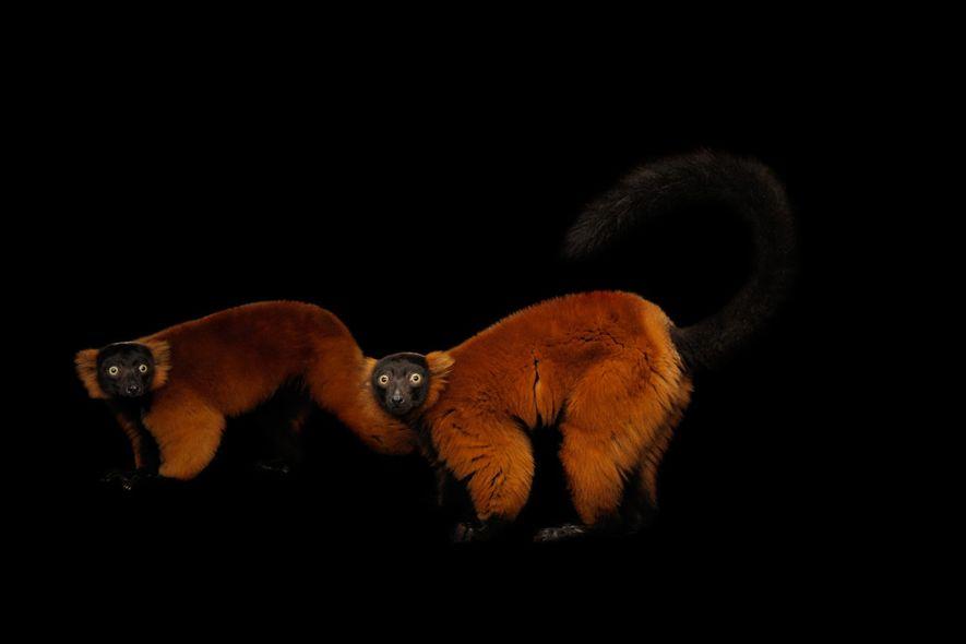 Lémures rufos rojos