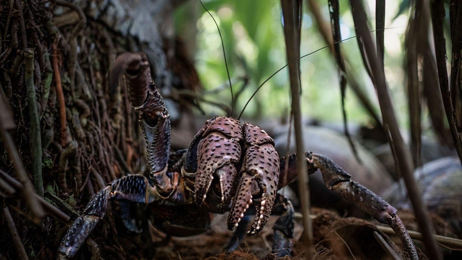 Cangrejo de los cocoteros