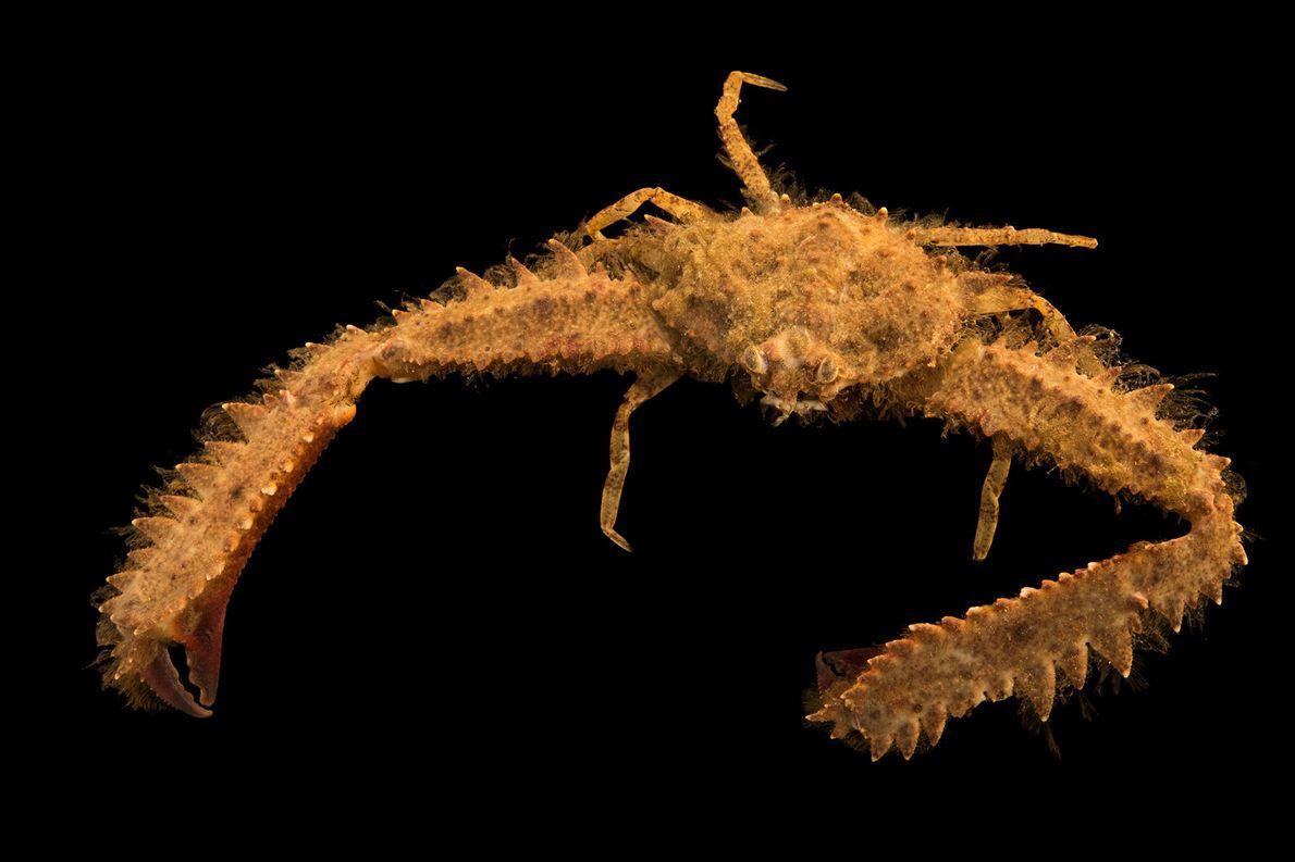 Parthenope granulata