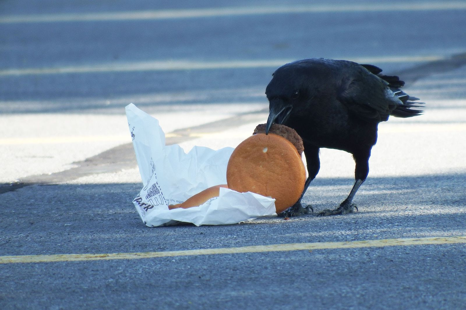 Cuervo come hamburguesa