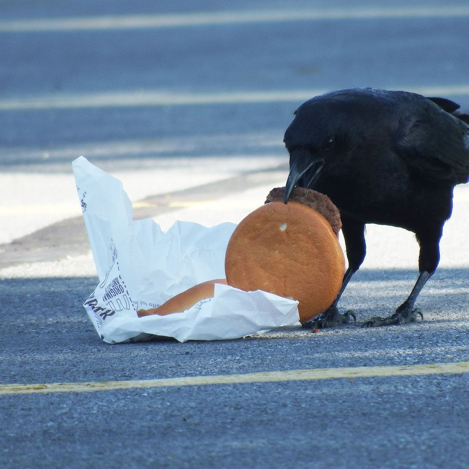 Los cuervos urbanos tienen el colesterol alto