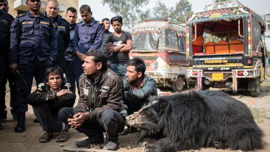 Los últimos osos bailarines de Nepal