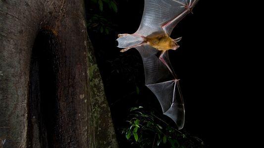 Por qué algunos murciélagos cazan durante el día