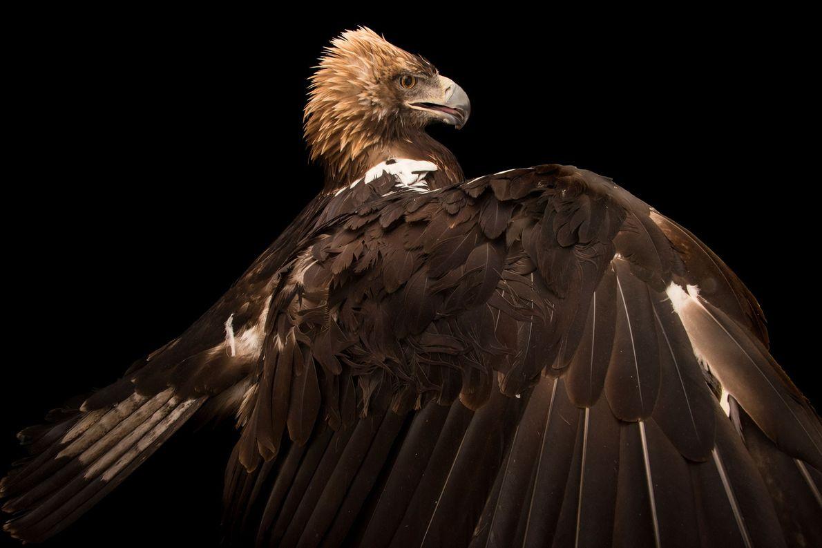 Un águila imperial ibérica