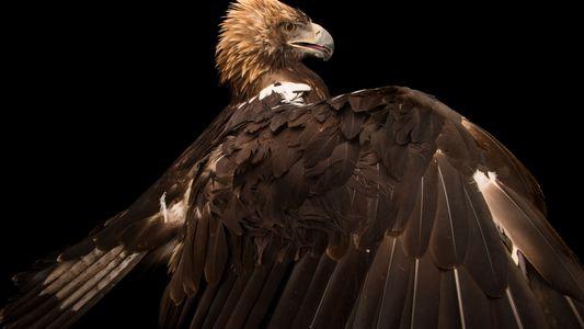 19 imágenes del ave más majestuosa: el águila