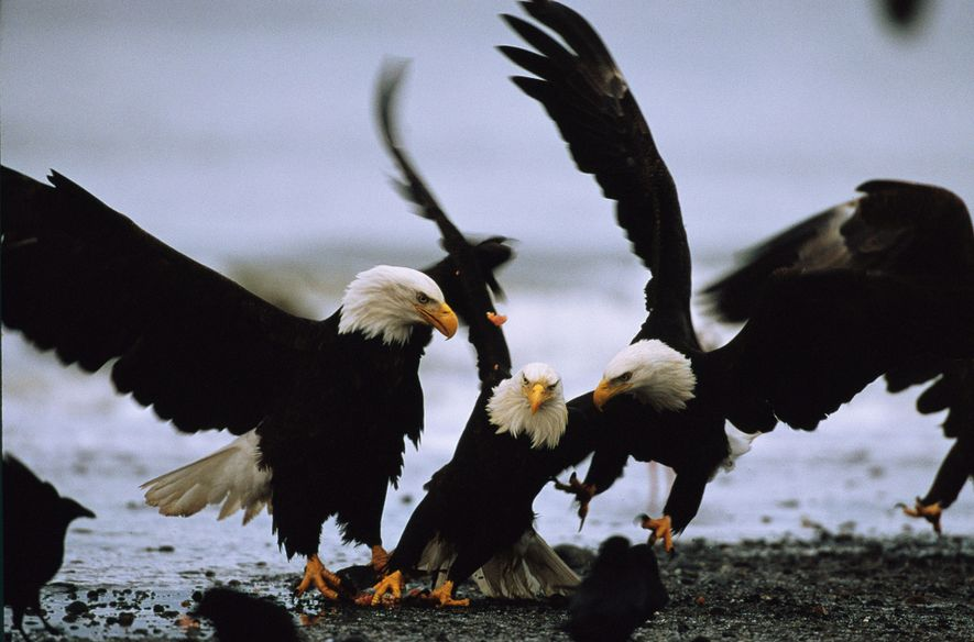 Gracias a los esfuerzos por su conservación, las águilas calvas dejaron de figurar en la Lista ...