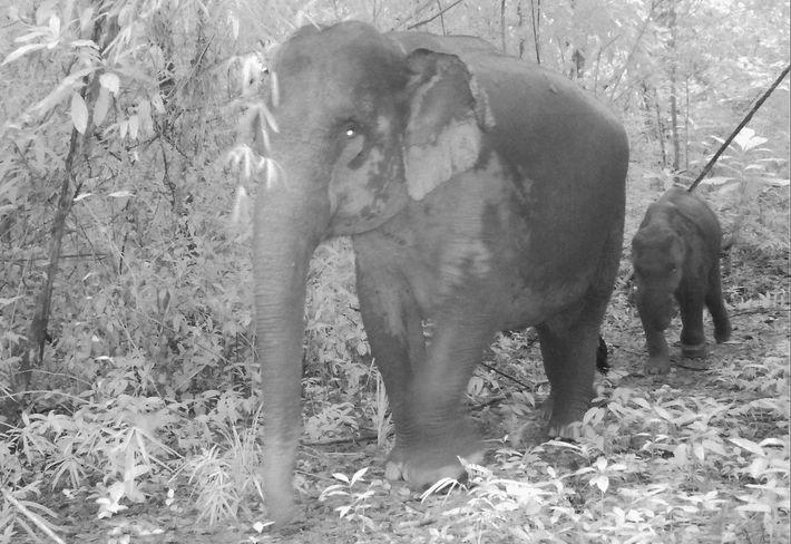 Elefantes asiáticos
