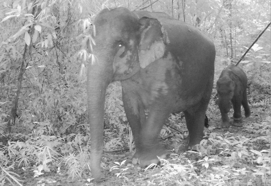 Las extendidas trampas de alambre están hiriendo a elefantes asiáticos en los montes Cardamomo de Camboya, ...