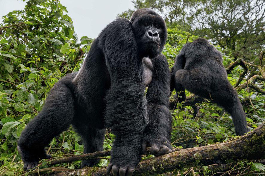Gorila de espalda plateada