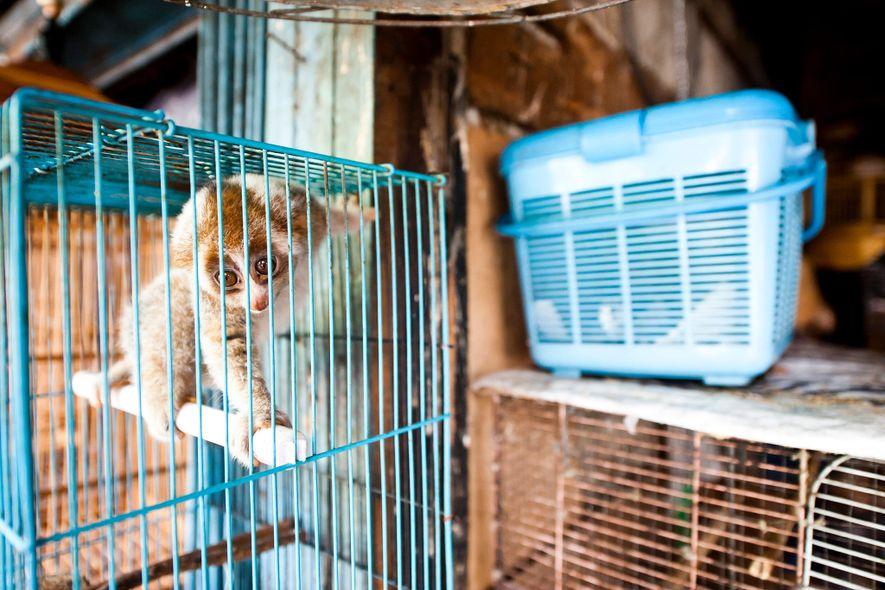 Los loris perezosos se venden abiertamente en el mercado de Borito en Yakarta, Indonesia, pese a estar protegidos según la ley.